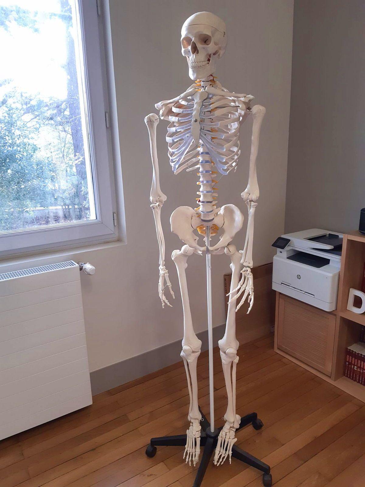 Squelette modèle anatomique